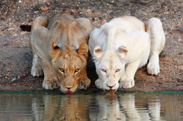 lionesses-white-lion-drinking-at-the-watering-hole